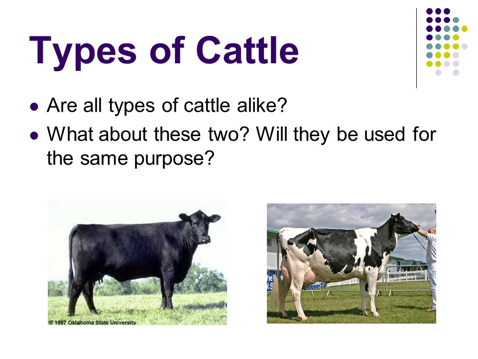 Types of Cattle Are all types of cattle alike? What about these two? Will they be used for the same purpose?