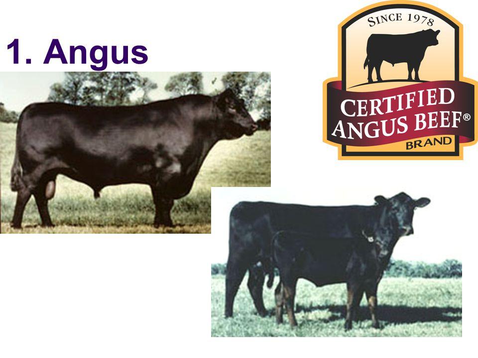 1. Angus