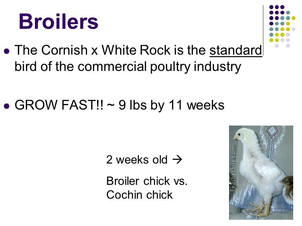 1. White Leghorns White Lay white eggs Most popular layers