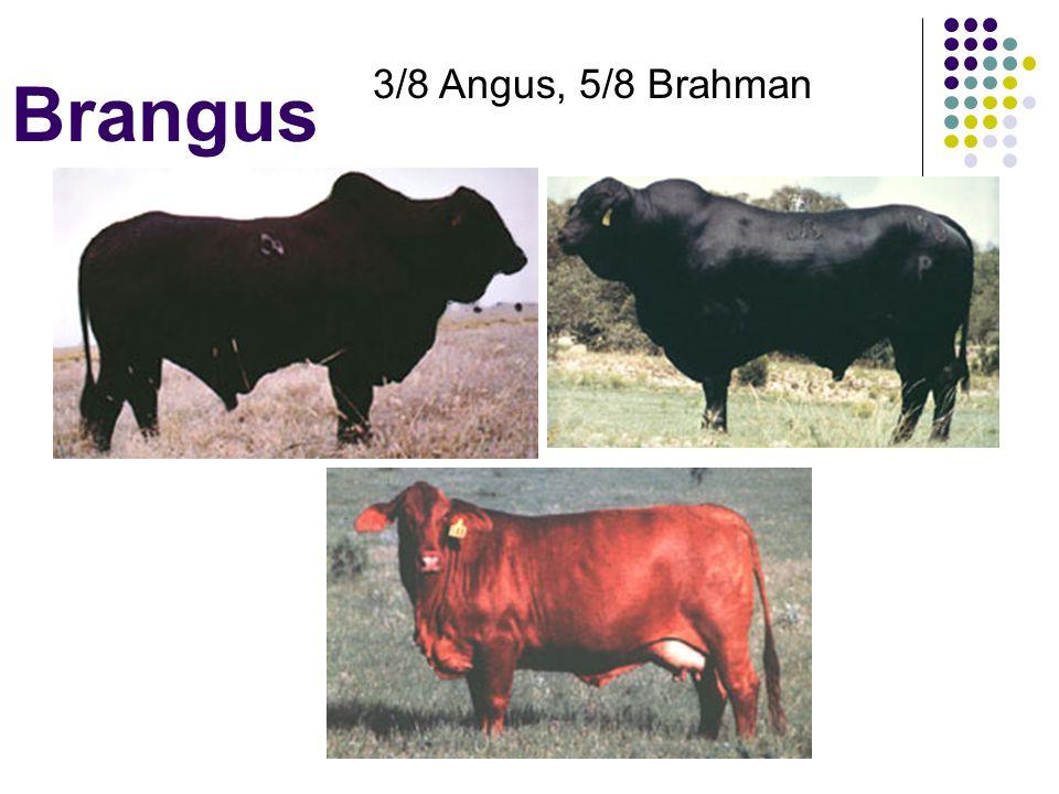 Brangus 3/8 Angus, 5/8 Brahman