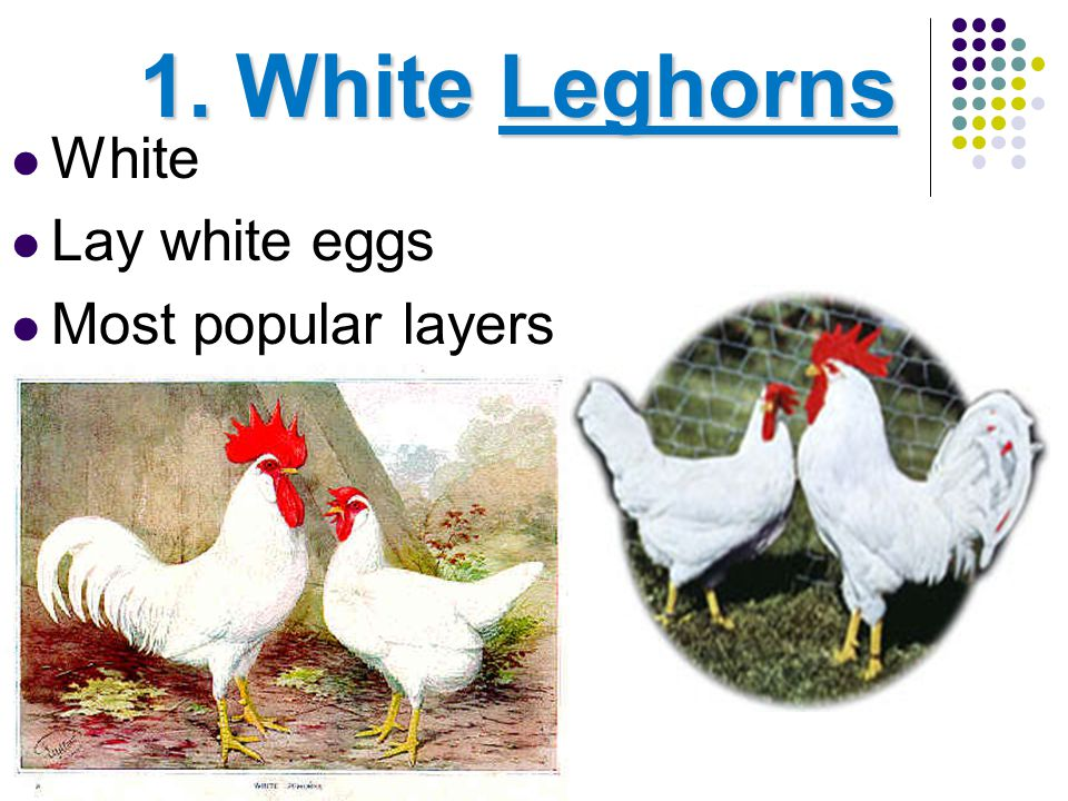 Broad-breasted Large White Turkey Most popular breed of Turkey Cannot breed naturally due to ________