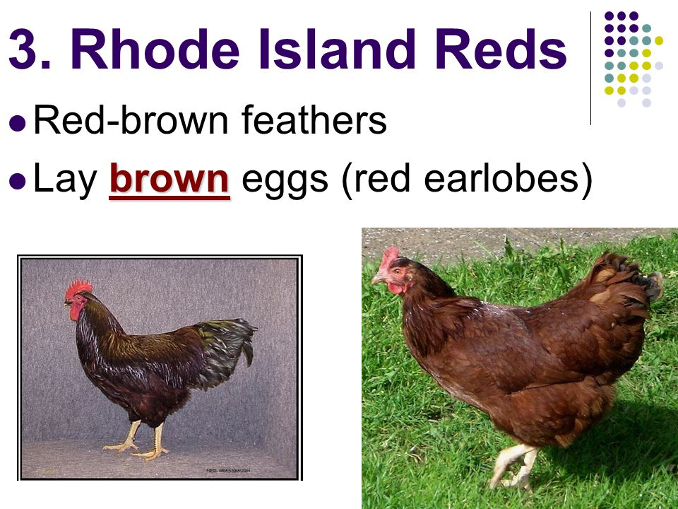 3. Rhode Island Reds Red-brown feathers brown Lay brown eggs (red earlobes)