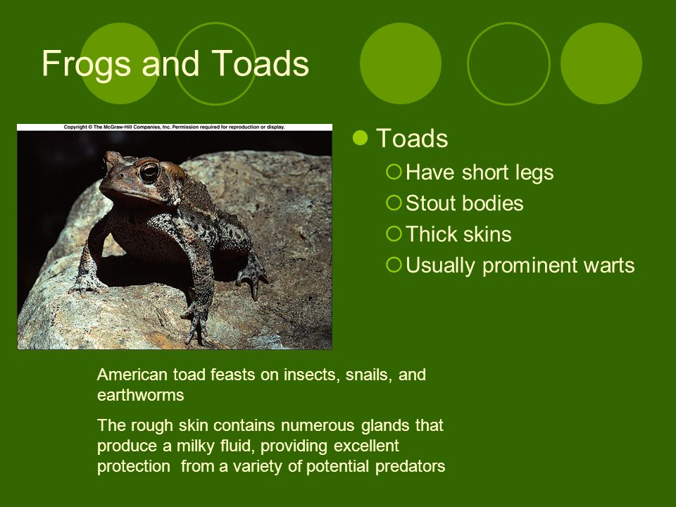 Frogs and Toads Toads Have short legs Stout bodies Thick skins Usually prominent warts American toad feasts on insects, snails, and earthworms The rough skin contains numerous glands that produce a milky fluid, providing excellent protection from a variety of potential predators