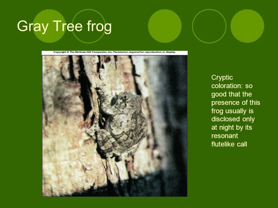 Gray Tree frog Cryptic coloration: so good that the presence of this frog usually is disclosed only at night by its resonant flutelike call