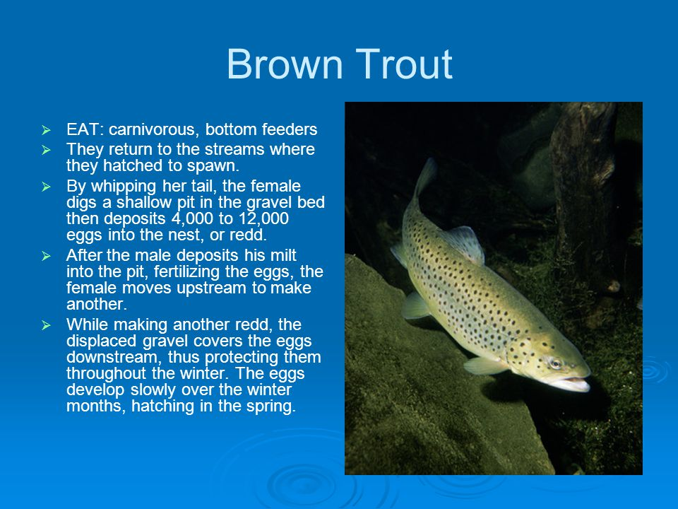 Brown Trout EAT: carnivorous, bottom feeders They return to the streams where they hatched to spawn.