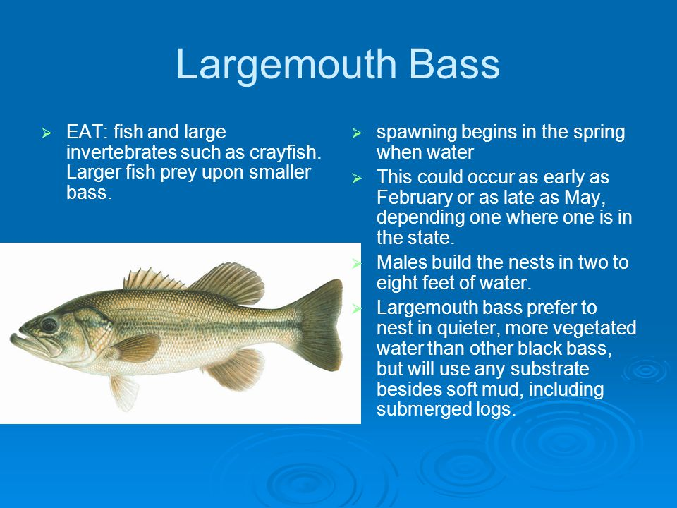 Largemouth Bass EAT: fish and large invertebrates such as crayfish.