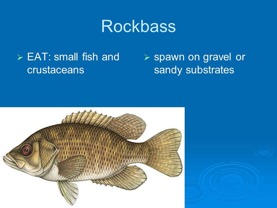 Rockbass EAT: small fish and crustaceans spawn on gravel or sandy substrates
