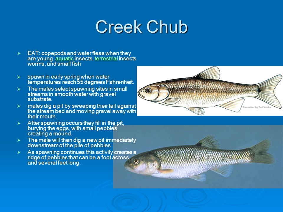 Creek Chub EAT: copepods and water fleas when they are young.