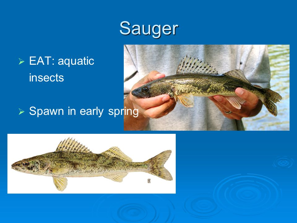 Sauger EAT: aquatic insects Spawn in early spring