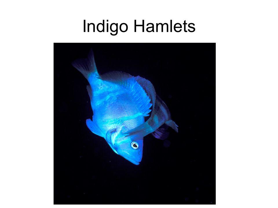 Indigo Hamlets