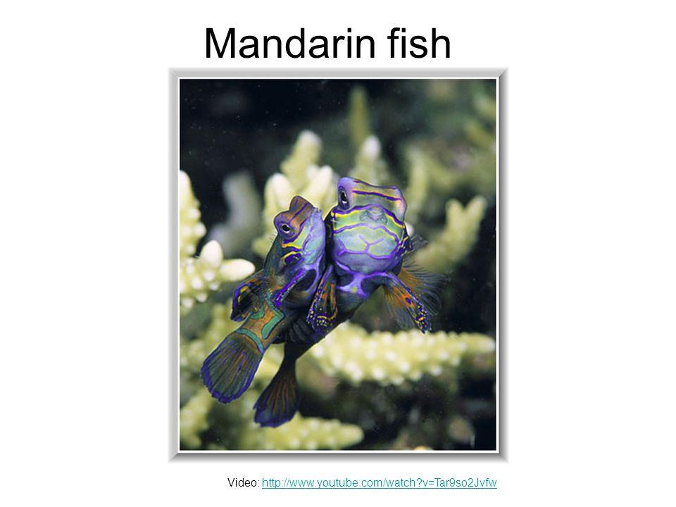 Mandarin fish Video: http://www.youtube.com/watch v=Tar9so2Jvfwhttp://www.youtube.com/watch v=Tar9so2Jvfw