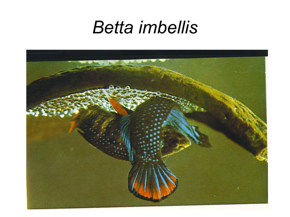 Betta imbellis
