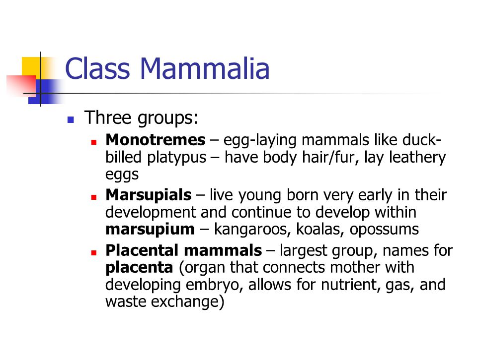 Class Mammalia Three groups: Monotremes – egg-laying mammals like duck- billed platypus – have body hair/fur, lay leathery eggs Marsupials – live youn