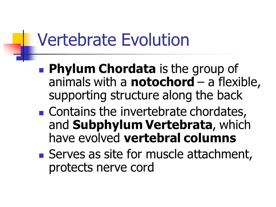 Vertebrate Evolution Phylum Chordata is the group of animals with a notochord – a flexible, supporting structure along the back Contains the invertebr