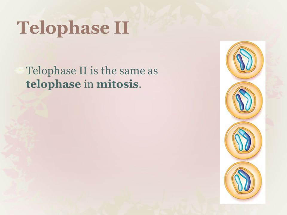 Telophase II Telophase II is the same as telophase in mitosis.