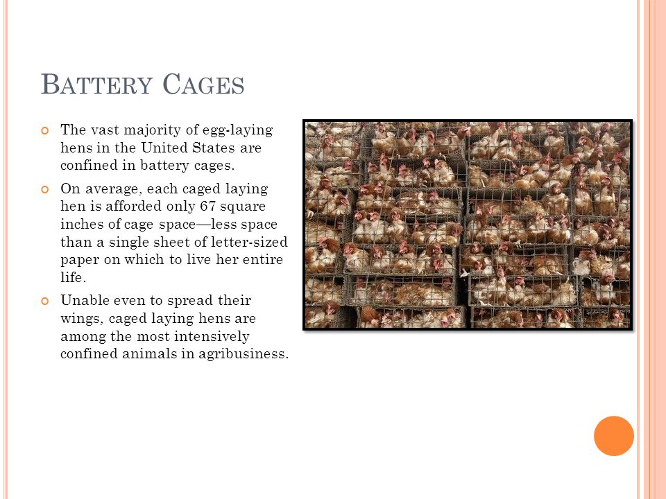 B ATTERY C AGES The vast majority of egg-laying hens in the United States are confined in battery cages.