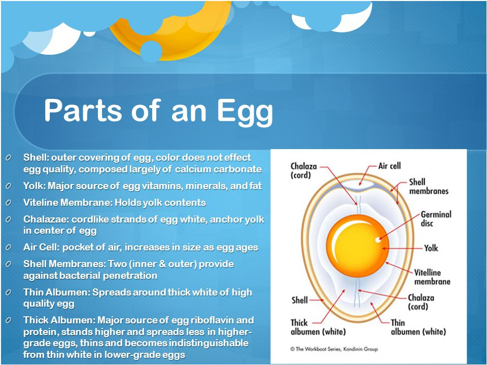 Parts of an Egg Shell: outer covering of egg, color does not effect egg quality, composed largely of calcium carbonate Yolk: Major source of egg vitam