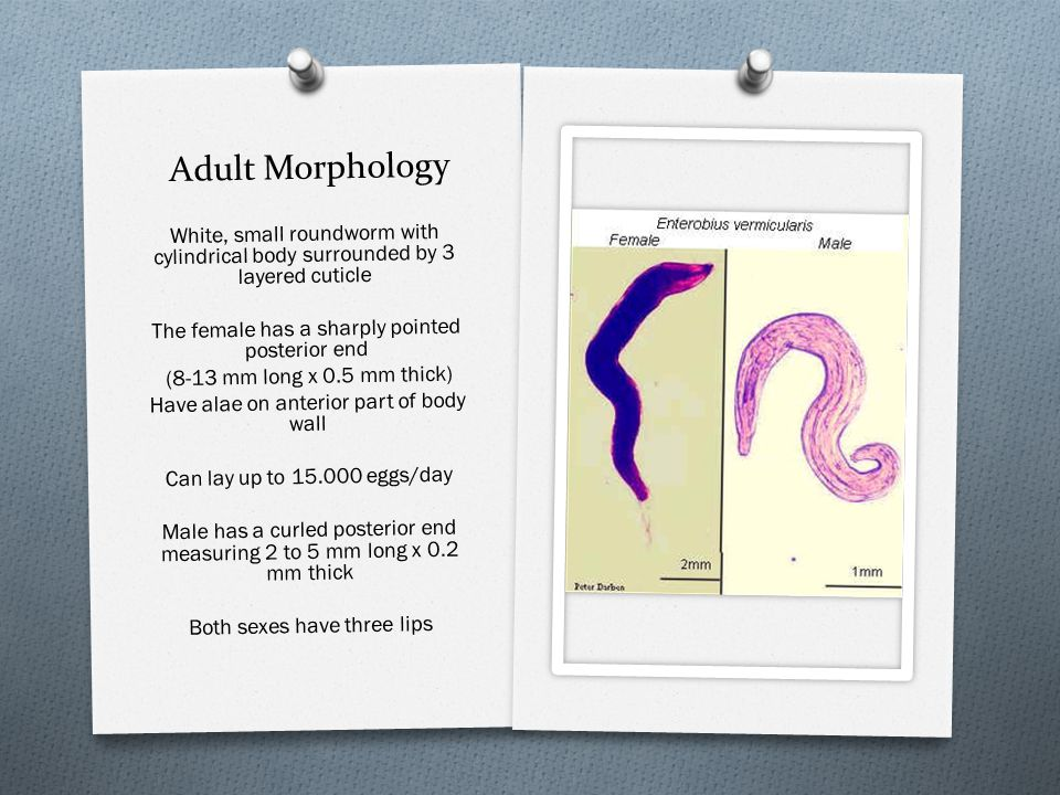 Adult Morphology White, small roundworm with cylindrical body surrounded by 3 layered cuticle The female has a sharply pointed posterior end (8-13 mm
