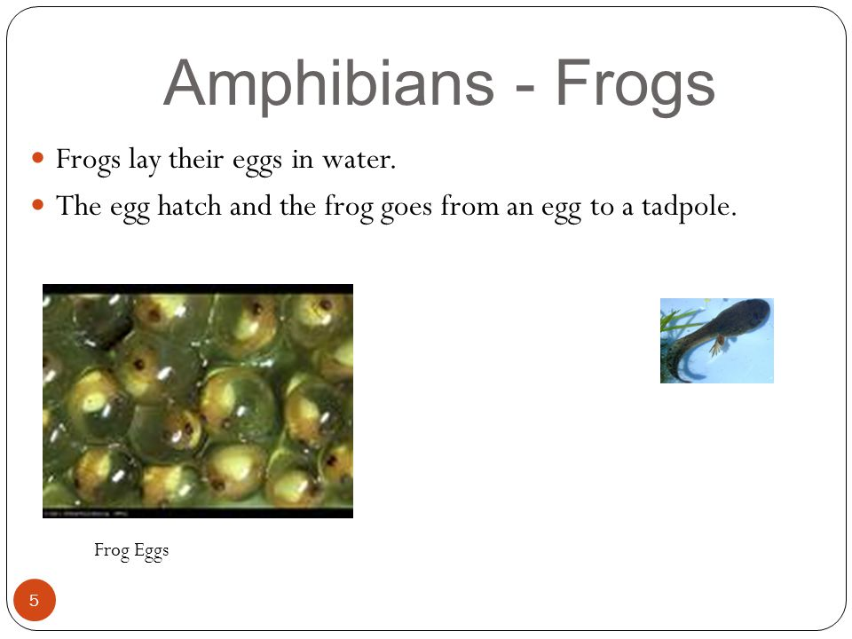 Amphibians - Frogs 5 Frogs lay their eggs in water. The egg hatch and the frog goes from an egg to a tadpole. Frog Eggs