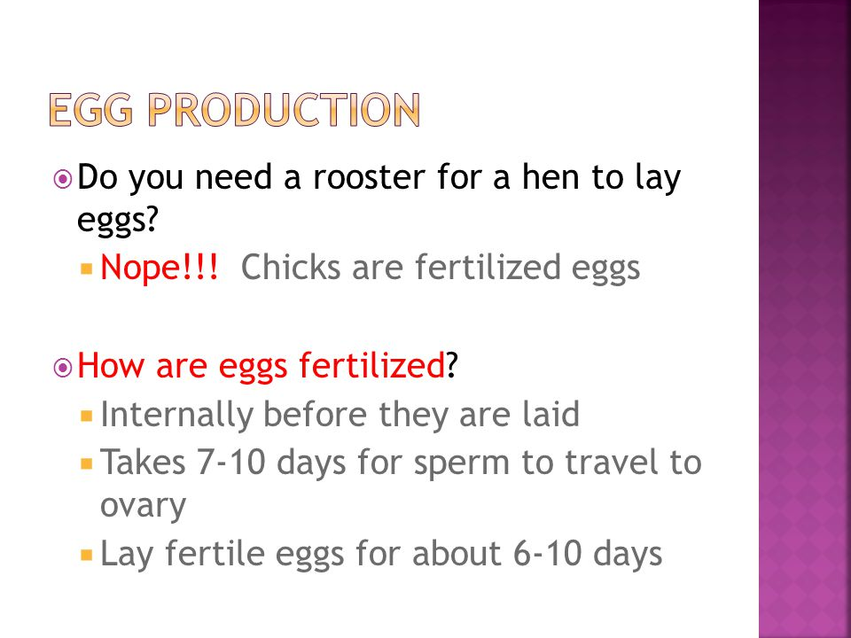 Do you need a rooster for a hen to lay eggs. Nope!!.