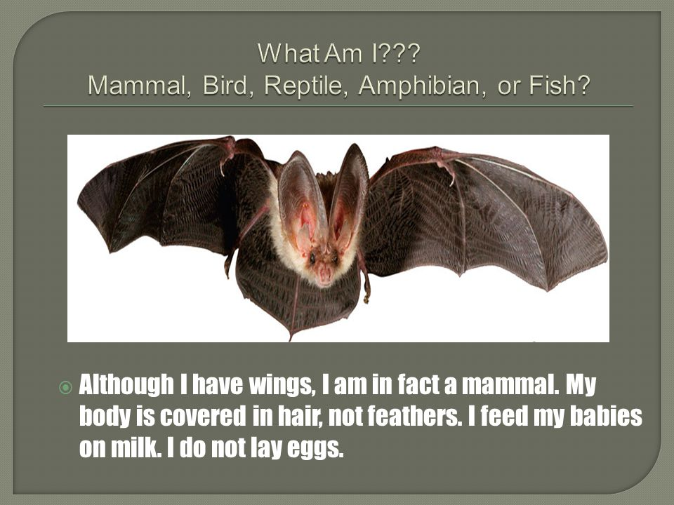 I am a mammal. If you stand very close to me you will notice I have hairs on my body. I feed my babies on milk. I do not lay eggs.