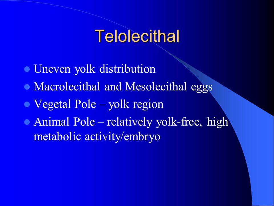 Telolecithal Uneven yolk distribution Macrolecithal and Mesolecithal eggs Vegetal Pole – yolk region Animal Pole – relatively yolk-free, high metabolic activity/embryo