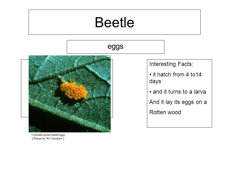 Life cycle of a Beetle Eduardo