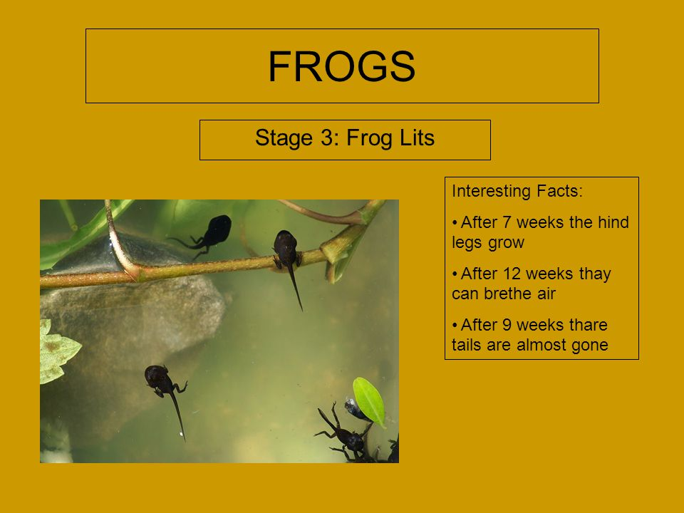 FROGS Stage 2: Tadpoles Interesting Facts: The tadpoles eat algee and other tiny whater plants After 3 months a buldge appers where the legs will grow