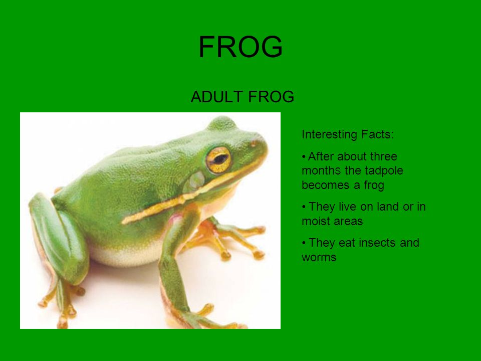 FROG METAMORPHISM Interesting Facts: After seven weeks their front and back legs begin to grow After nine weeks the tail is almost gone They begin to