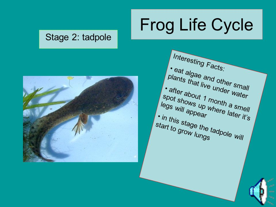 Frog Life Cycle Stage 1:Eggs Interesting Facts: are laid in wet places laid in clumps too big to be eaten together which is natures way of protecting