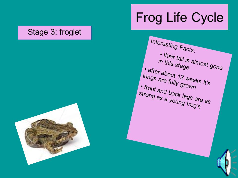 Frog Life Cycle Stage 2: tadpole Interesting Facts: eat algae and other small plants that live under water after about 1 month a smell spot shows up w