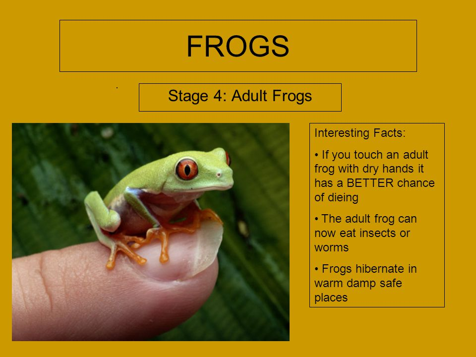 FROGS Stage 4: Adult Frogs Interesting Facts: If you touch an adult frog with dry hands it has a BETTER chance of dieing The adult frog can now eat insects or worms Frogs hibernate in warm damp safe places