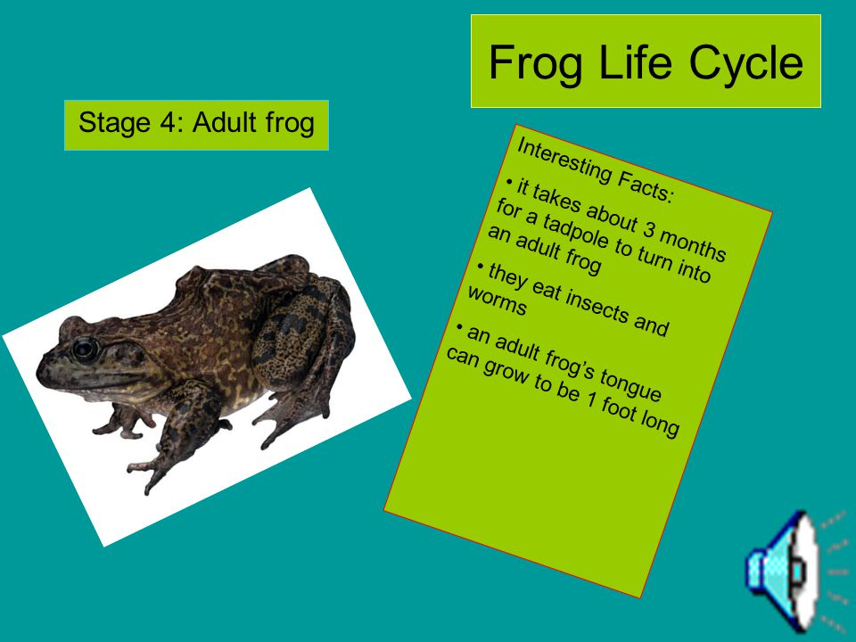 Frog Life Cycle Stage 3: froglet Interesting Facts: their tail is almost gone in this stage after about 12 weeks its lungs are fully grown front and b
