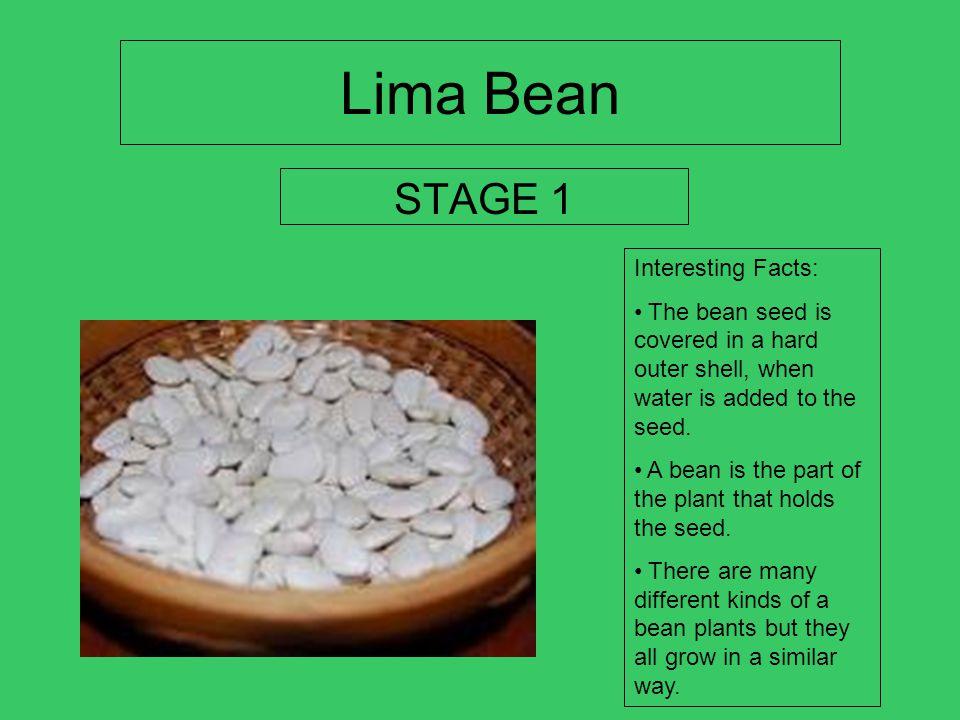 life cycle of a lima bean JOCELYN