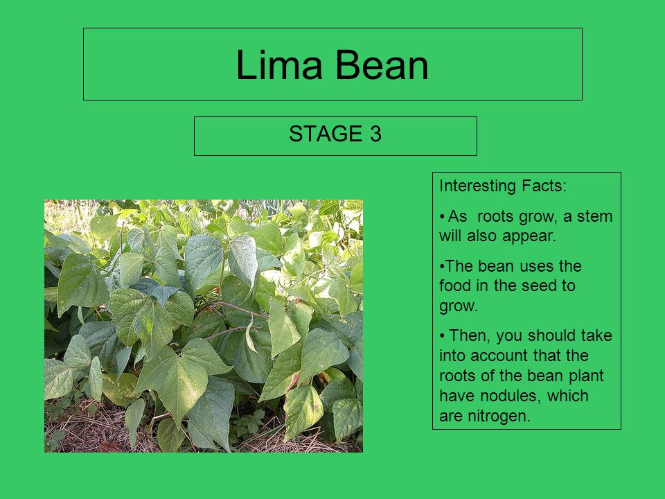 Lima bean STAGE 2 Interesting Facts: The plant swells and bursts open. The fruit of the bean is rather large pod witch contains many white, kid neon,