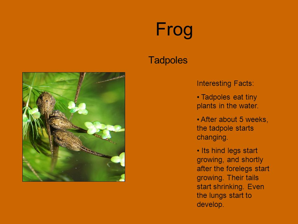 Frog Egg Interesting Facts: Frogs lay their eggs in warm, wet, places Cells split to form a tadpole. Now the tadpole is going through the development
