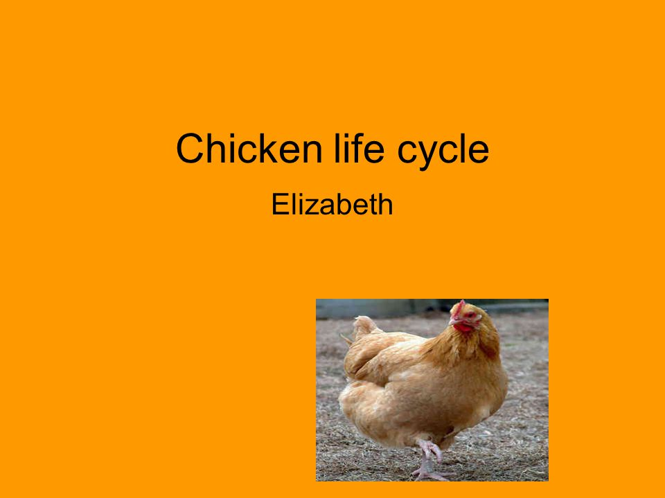 Chicken Stage 1 Egg Interesting Facts: Some of the eggs hens lay have embryos The embryos turn into chicks in 21 days The egg has different layers such as the, egg cell, yolk, chalazae, and albumen