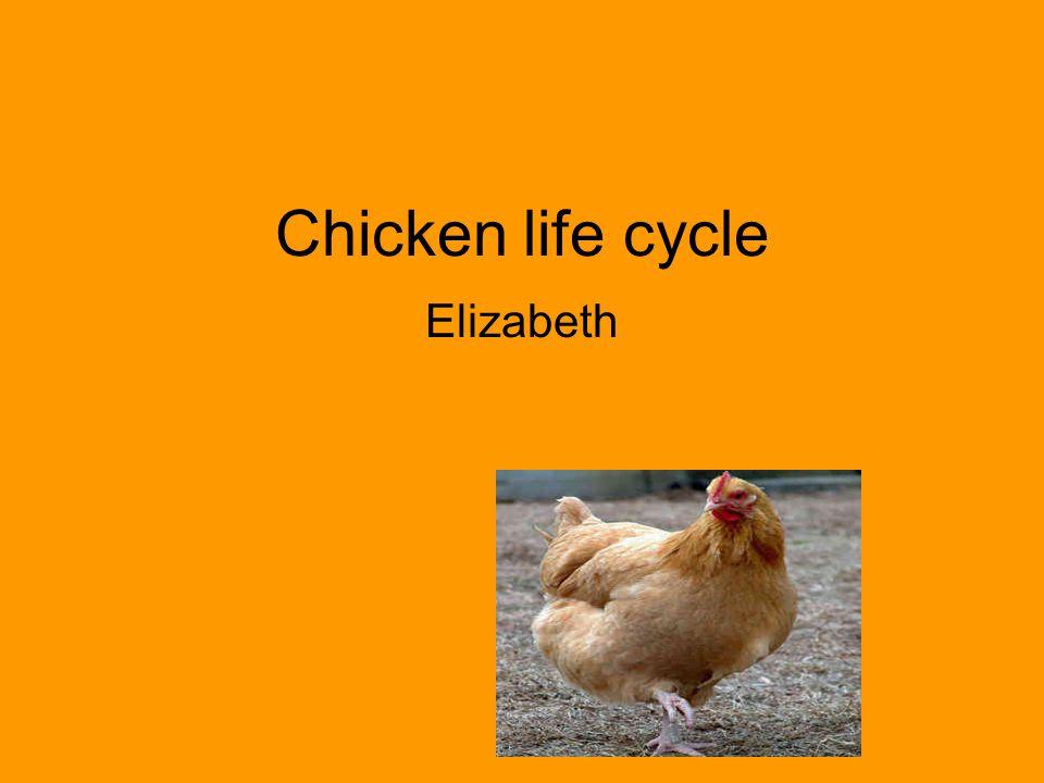 Chicken life cycle Elizabeth