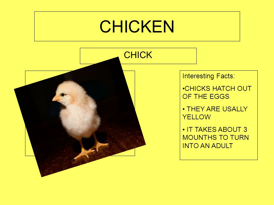 CHICKEN EGG Place picture of your stage here. Interesting Facts: EGGS CAN BE DIFFERENT COLORS EGGS ARE ABOUT 3 INCHES TALL EGGS CARRY THE CHICK FOR 21