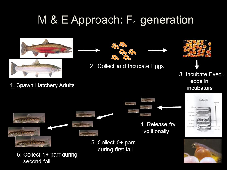 1. Spawn Hatchery Adults M & E Approach: F 1 generation 2. Collect and Incubate Eggs 3. Incubate Eyed- eggs in incubators 4. Release fry volitionally