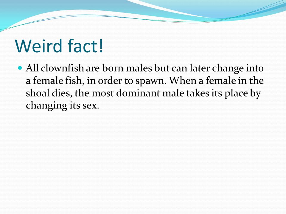 Weird fact! All clownfish are born males but can later change into a female fish, in order to spawn. When a female in the shoal dies, the most dominan