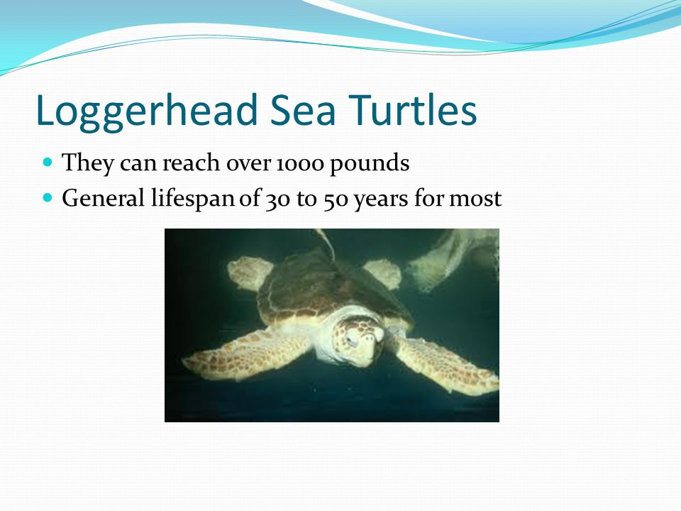 Loggerhead Sea Turtles They can reach over 1000 pounds General lifespan of 30 to 50 years for most