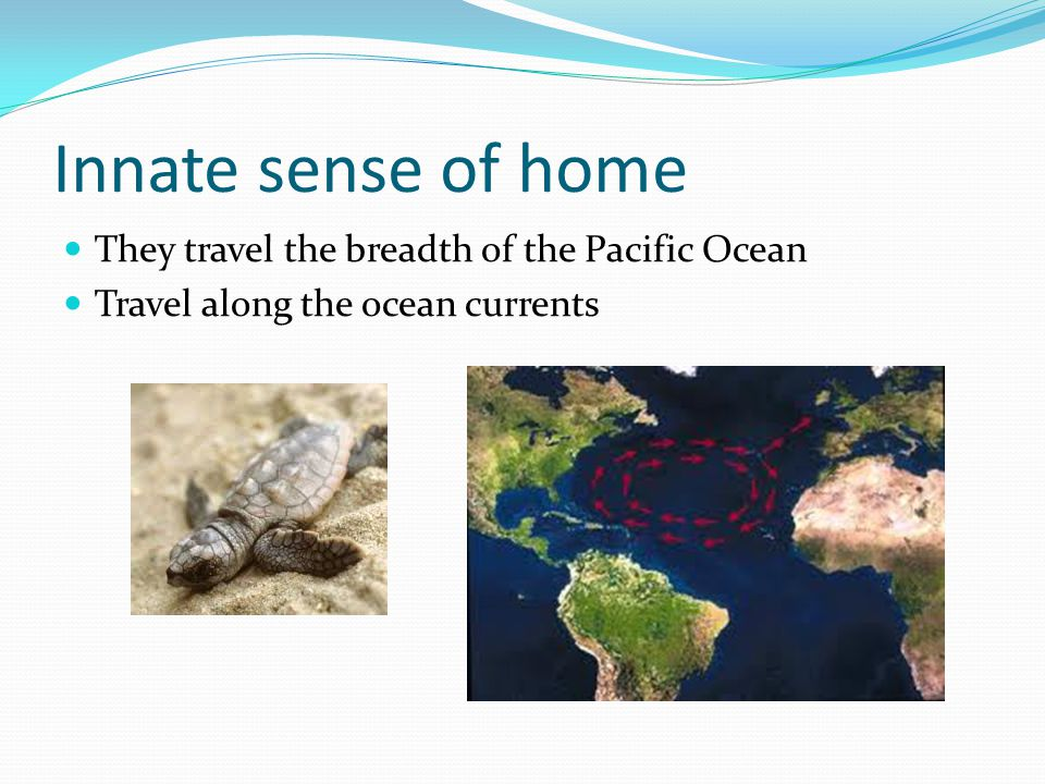Innate sense of home They travel the breadth of the Pacific Ocean Travel along the ocean currents