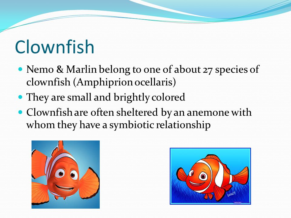Clownfish Nemo & Marlin belong to one of about 27 species of clownfish (Amphiprion ocellaris) They are small and brightly colored Clownfish are often