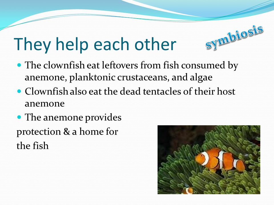 They help each other The clownfish eat leftovers from fish consumed by anemone, planktonic crustaceans, and algae Clownfish also eat the dead tentacles of their host anemone The anemone provides protection & a home for the fish