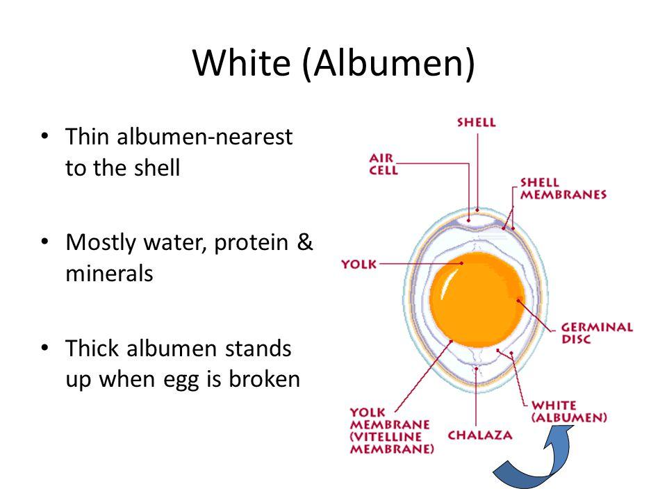 White (Albumen) Thin albumen-nearest to the shell Mostly water, protein & minerals Thick albumen stands up when egg is broken