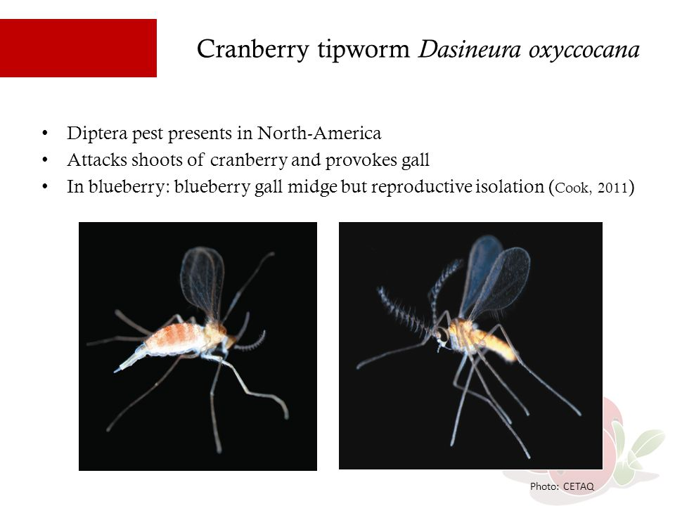 Cranberry tipworm Dasineura oxyccocana 25% of the field in Quebec with damage In general upright damaged produces 50% less fruits (Le Duc 2010) When infested by the 3rd generation: 33% of fruiting buds are recovered the next year (Le Duc 2010) Photo: CETAQ