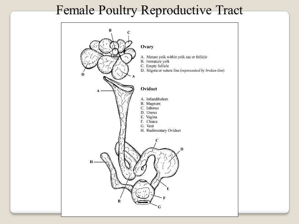 Female Reproductive System in Poultry The functional parts of the female poultry reproductive tract includes one ovary, an oviduct, and the cloaca.