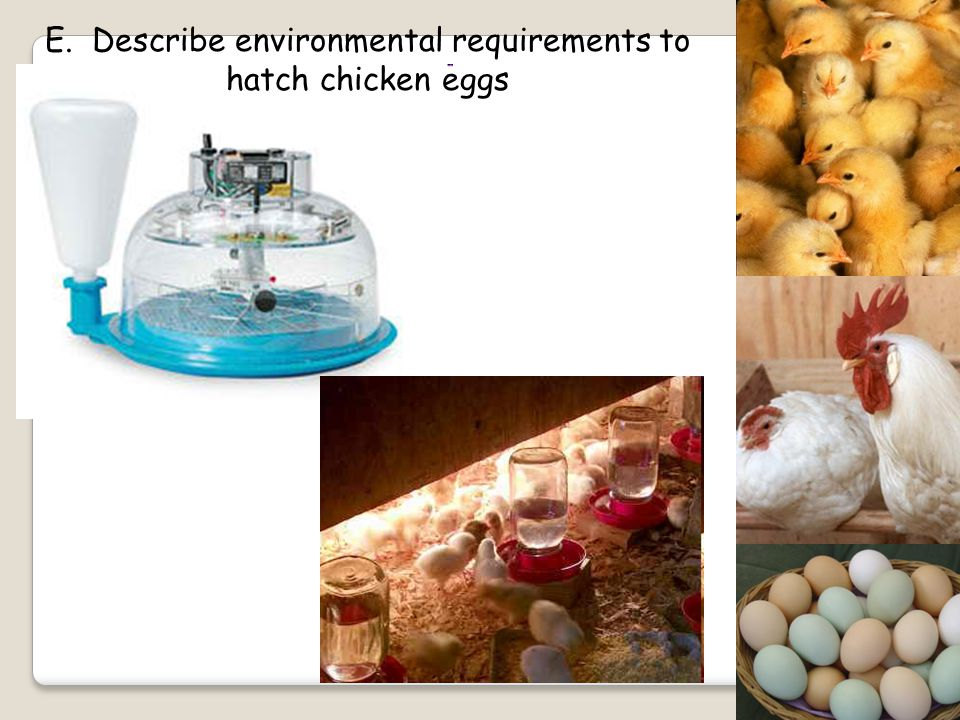 E. Describe environmental requirements to hatch chicken eggs Artificial Incubation: Hen lays eggs and they are placed in an incubator Incubator keeps