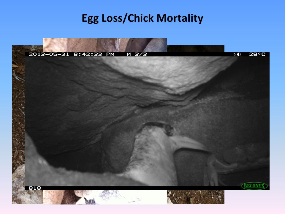 Egg Loss/Chick Mortality